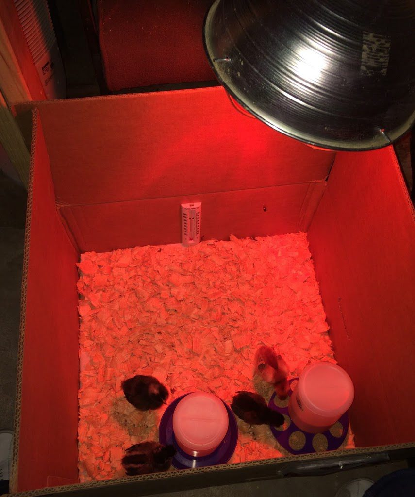 Simple box brooder for chicks