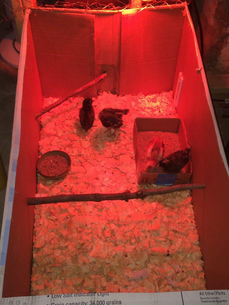 Box brooder for chicks