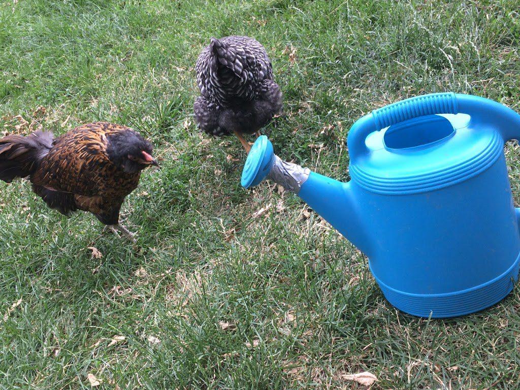 Broken watering can with chicken