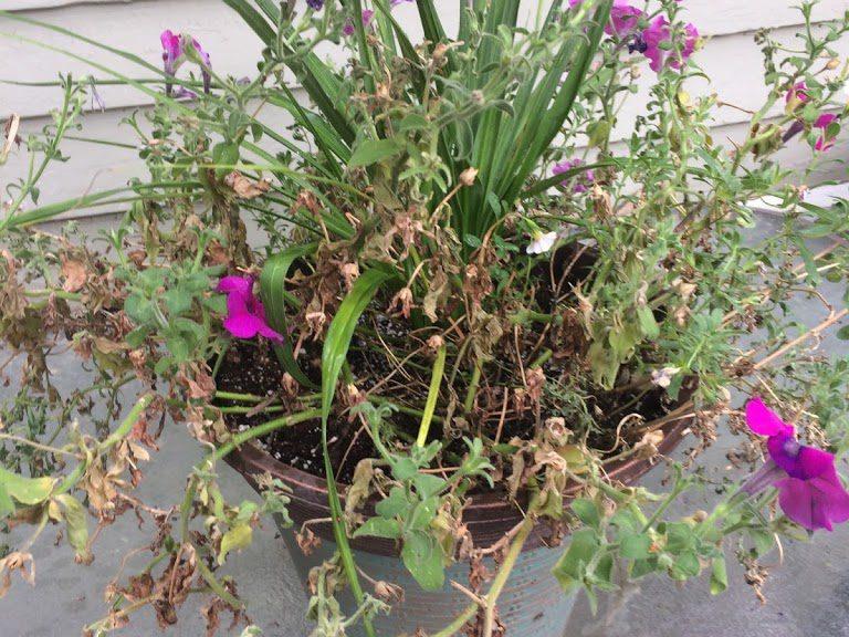 Petunias half dead