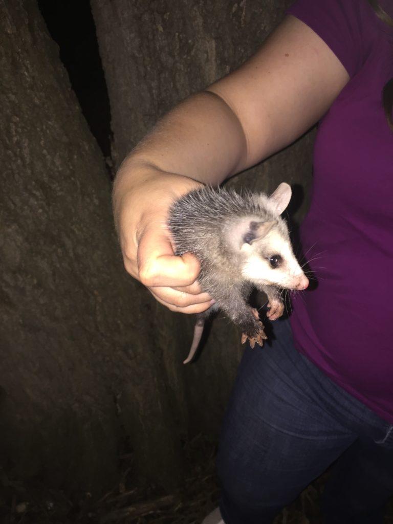 Baby opossum visits our chicken coop
