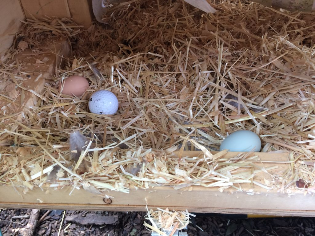 Wyandotte and Easter eggs