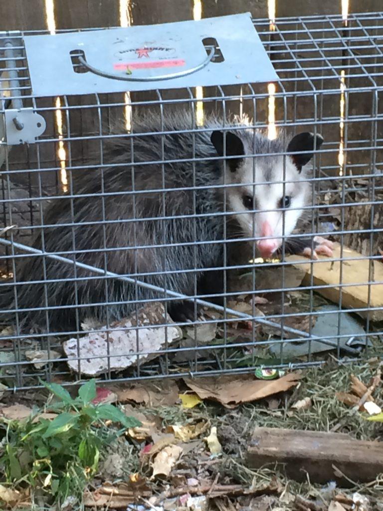 I caught an opossum sneaking around my chicken coop and compost bin